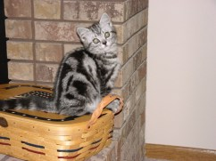 Image of American Shorthair silver tabby kitten sitting on picnic basket beside brick fireplace
