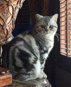 Image of silver tabby American Shorthair cat