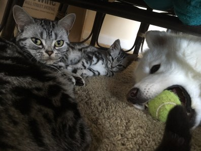 Image of American Shorthair silver tabby kitten and cat sleeping under a chair while large white dog chews on a tennis ball beside them