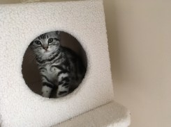 Image of American Shorthair silver tabby kitten looking out peephole of cat tree