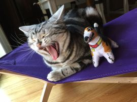 Image of American Shorthair silver tabby cat yawning beside stuffed toy dog
