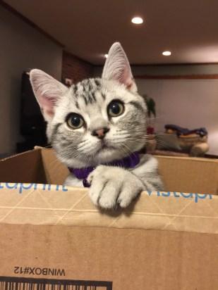 OP-Okemos-Nov-13-2017-Silver-tabby-American-shorthair-kitten-in-box
