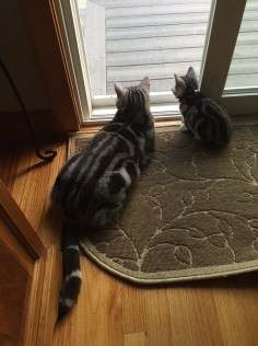 Image of American Shorthair silver tabby kitten looking out the window with big brother