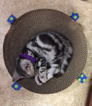 Image of American Shorthair silver tabby kitten sleeping on round scratching pad