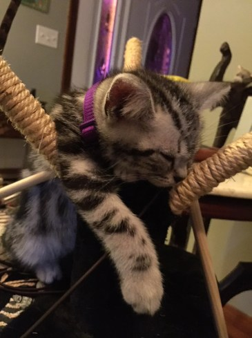Image of American Shorthair silver tabby kitten sound asleep on hammock chair