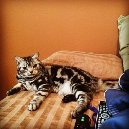 Image of American Shorthair silver tabby cat resting on bed