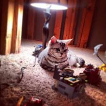 Image of American Shorthair silver tabby cat supervising lego contruction