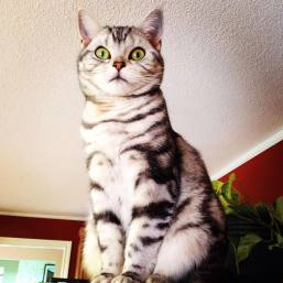 Image of American Shorthair silver tabby cat perched up high showing necklace and bracelet markings