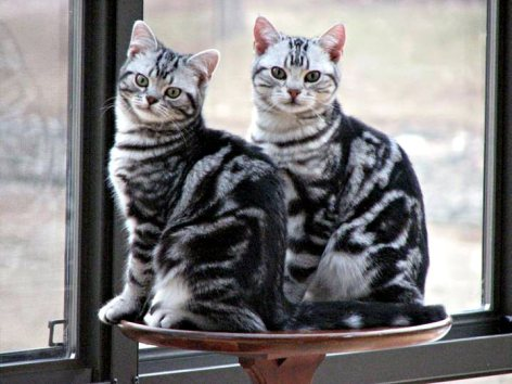 Image of two Amercian Shorthair silver tabby cats sitting on sidetable in front of window