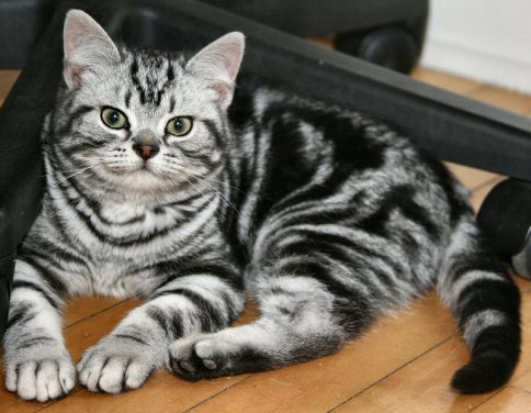 Image of American Shorthair classic silver tabby lying on wood floor face view