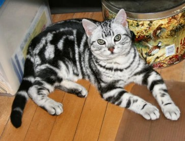 Image of American Shorthair classic silver tabby cat lying on wood floor face bracelets