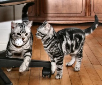 Image of two American Shorthair silver tabby cats playing with ball on wood floor