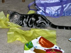 Image of Reagan Apr 26 2011 American Shorthair silver tabby cat Lying in yellow tissue Paper