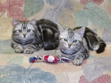 Image of two American Shorthair silver tabby cats lying on bedspread with a cat toy