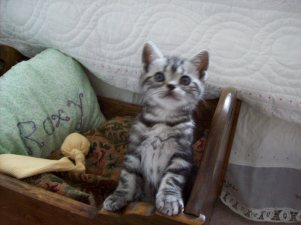 Image of American Shorthair Silver tabby kitten sitting up beside bed
