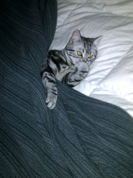 Image of American Shorthair silver tabby cat tucked into bed