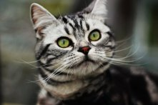 Image of American Shorthair silver tabby cat with green eyes and well defined M marking
