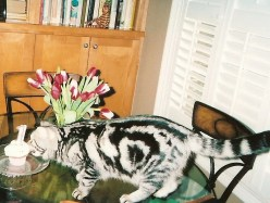 Image of American Shorthair silver tabby cat sniffing birthday cupcake showing bullseye marking