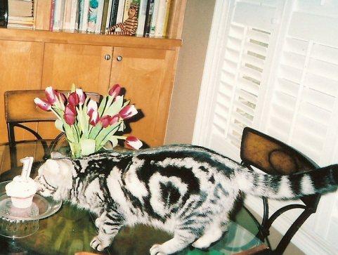 Image of American Shorthair silver tabby cat sniffing birthday cupcake showing bullseye marking