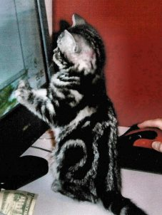 Image of American Shorthair silver tabby kitten standing on hind legs to look out window