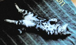 Image of American Shorthair silver tabby kitten with spotted belly sleeping on back