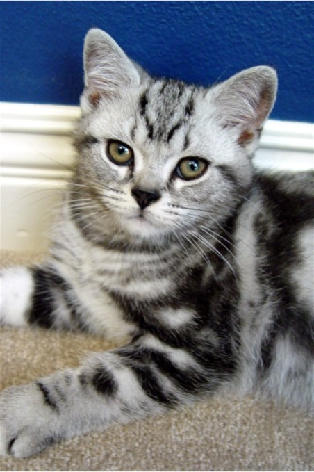 Image of American Shorthair Silver tabby kitten laying on carpet in front of blue wall