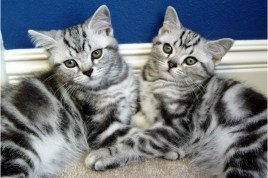 Image of two American Shorthair Silver tabby kittens sleeping on carpet in front of blue wall