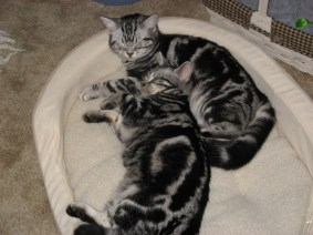 Image of two American Shorthair classic silver tabbies curl up together on cat bed