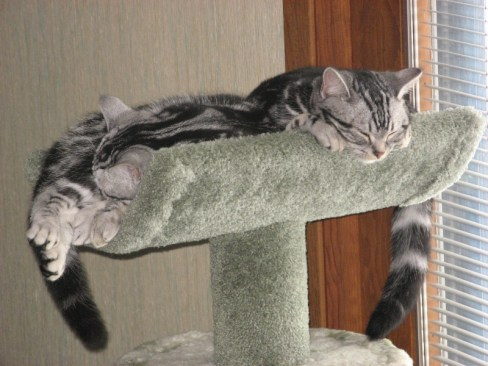 Image of two American Shorthair classic silver tabbies sleeping on cat tree