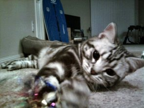 Image of American Shorthair silver tabby playing with sparkle toy
