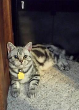 Image of Zeiler Thelma American Shorthair classic silver tabby with collar lying on carpet