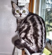 Image of Bess American Shorthair Silver Tabby Female with large green eyes back view showing dorsal stripes