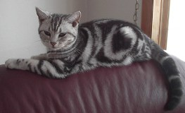 Image of American Shorthair silver tabby lying on the back or a red leather couch