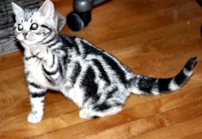 Image of Fancy American Shorthair silver tabby kitten on wood floor left side with paw in air