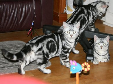 Image of three American Shorthair silver tabbies under office chair