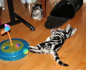 Image of 2 male American Shorthair classic silver tabby kittens laying on wood floor