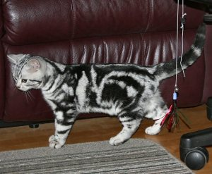 Image of American Shorthair classic silver tabby kitten in front of red leather couch
