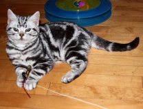 Image of male American Shorthair classic silver tabby kitten