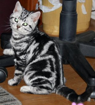 Image of American Shorthair classic silver tabby kitten under office chair