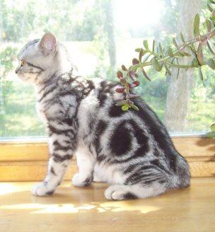 Image of silver tabby kitten sitting on wood windowsill in sunlight