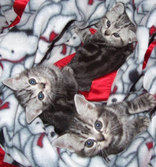 Image of three silver tabby American Shorthair kittens snuggled up on a red and white fleece snowman blanket