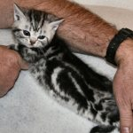 Image of How kittens change left side baby 6 weeks