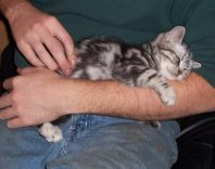 Image of American Shorthair silver tabby kitten sleeping on mans arm