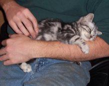 Image of American Shorthair silver tabby kitten sleeping on mans arm