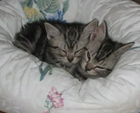 Image of two silver tabby American Shorthair kittens snuggled in white kitty bed