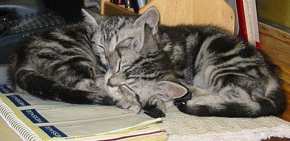 Image of two silver tabby American Shorthair kittens asleep on office desk