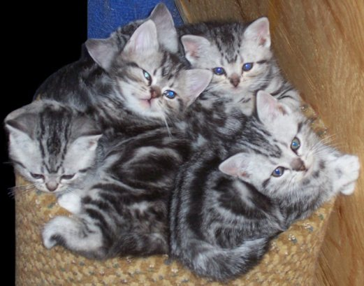 Image of pile of 5 silver tabby kittens napping on a gold chair