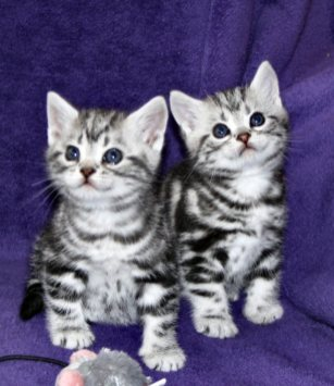Image of two American Shorthair classic silver tabby kittens sitting on purple chair showing necklace and bracelet markings