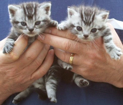 Image of two American Shorthair silver tabby kittens in mans hands