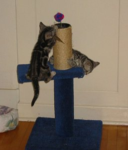 Image of two silver tabby American Shorthair kittens climbing on blue sisal wrapped scratching post